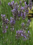 echter lavendel dwarf blue lavandula angustifolia. Black Bedroom Furniture Sets. Home Design Ideas