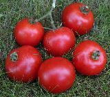 tomate harzfeuer lycopersicon esculentum harzfeuer kr uterg rtnerei helenion kr uter. Black Bedroom Furniture Sets. Home Design Ideas